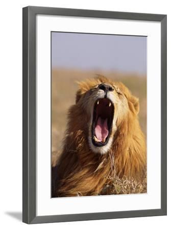 Lion Yawning-DLILLC-Framed Photographic Print