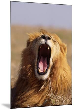 Lion Yawning-DLILLC-Mounted Photographic Print