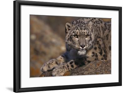 Snow Leopard on Rock-DLILLC-Framed Photographic Print