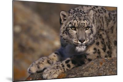 Snow Leopard on Rock-DLILLC-Mounted Photographic Print