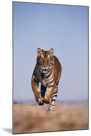 Bengal Tiger Running on Beach-DLILLC-Mounted Photographic Print