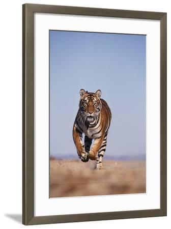 Bengal Tiger Running on Beach-DLILLC-Framed Photographic Print