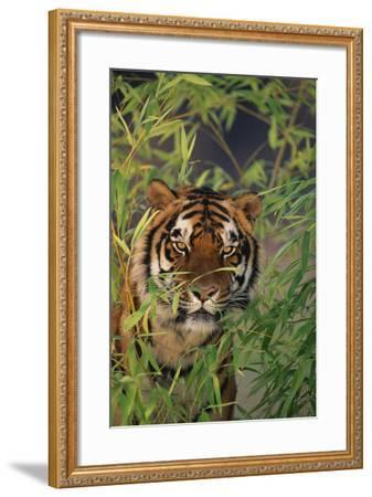 Tiger Sitting among Bamboo Leaves-DLILLC-Framed Photographic Print