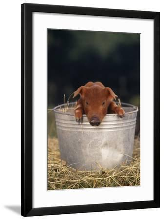 Duroc Piglet in a Pail-DLILLC-Framed Photographic Print