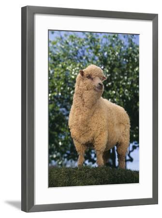 Sheep in Grass-DLILLC-Framed Photographic Print