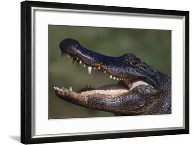 American Alligator with Jaws Open-DLILLC-Framed Photographic Print