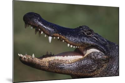American Alligator with Jaws Open-DLILLC-Mounted Photographic Print