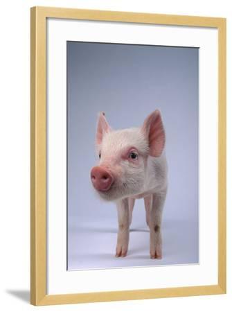 Yorkshire Piglet-DLILLC-Framed Photographic Print