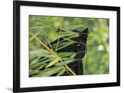 Black Leopard behind Leaves-DLILLC-Framed Photographic Print