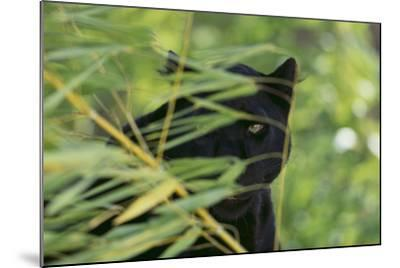 Black Leopard behind Leaves-DLILLC-Mounted Photographic Print