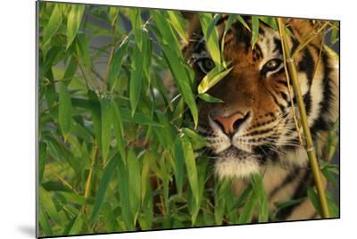 Tiger Sitting among Bamboo Leaves-DLILLC-Mounted Photographic Print