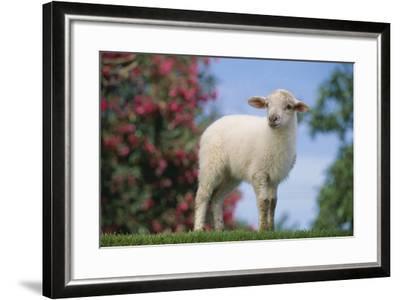 Lamb in Grass-DLILLC-Framed Photographic Print