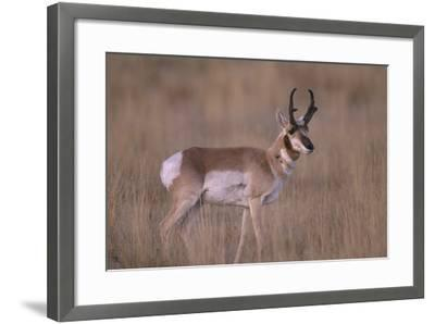 Pronghorn in Field-DLILLC-Framed Photographic Print