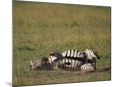 Burchell's Zebra Rolling in Dirt-DLILLC-Mounted Photographic Print