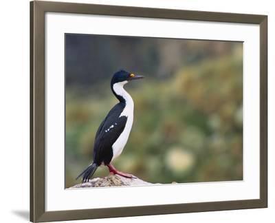 Imperial Shag on Rock-DLILLC-Framed Photographic Print