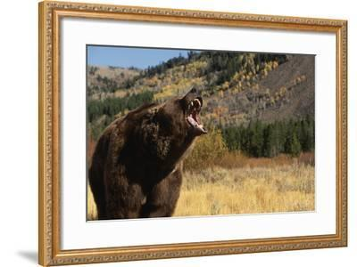 Grizzly Bear-DLILLC-Framed Photographic Print