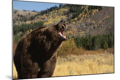 Grizzly Bear-DLILLC-Mounted Photographic Print