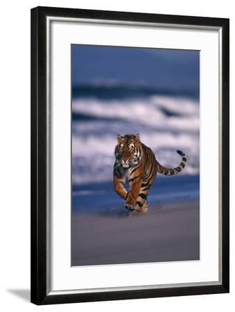 Bengal Tiger Running on Beach-DLILLC-Framed Photographic Print