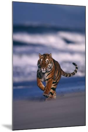 Bengal Tiger Running on Beach-DLILLC-Mounted Photographic Print