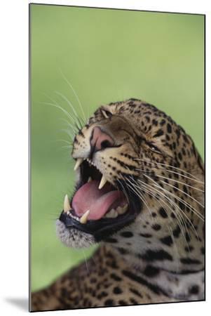 Leopard-DLILLC-Mounted Photographic Print
