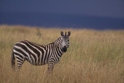 Common Zebra-DLILLC-Framed Photographic Print