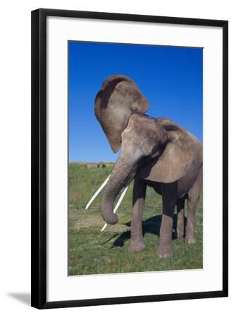African Elephant Wagging Ears-DLILLC-Framed Photographic Print