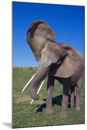 African Elephant Wagging Ears-DLILLC-Mounted Photographic Print