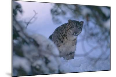 Snow Leopard in Snow-DLILLC-Mounted Photographic Print