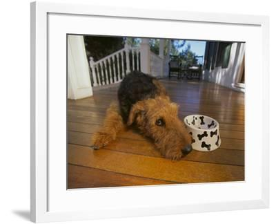 Airedale Terrier-DLILLC-Framed Photographic Print
