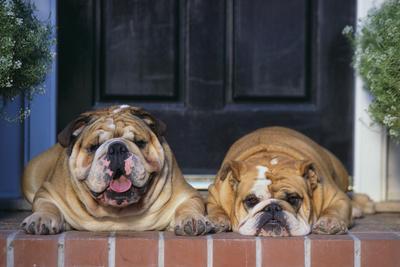 English Bulldogs-DLILLC-Framed Photographic Print