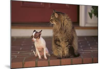 Nervous Chihuahua Sitting beside a Cat-DLILLC-Mounted Photographic Print