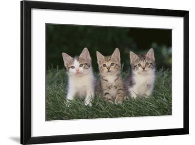 Three Kittens-DLILLC-Framed Photographic Print