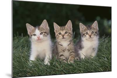 Three Kittens-DLILLC-Mounted Photographic Print