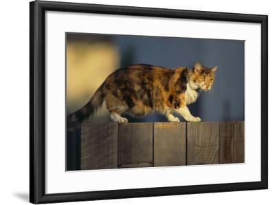 Calico Cat Walking on Fence-DLILLC-Framed Photographic Print