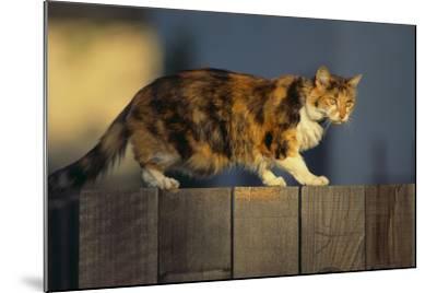 Calico Cat Walking on Fence-DLILLC-Mounted Photographic Print