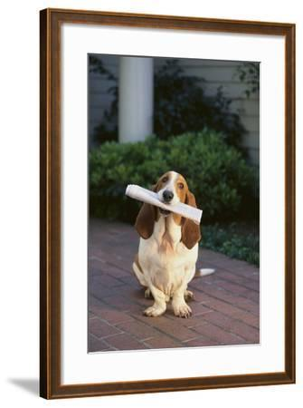 Basset Hound Fetching Newspaper-DLILLC-Framed Photographic Print
