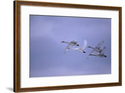 Whooper Swans Flying-DLILLC-Framed Photographic Print