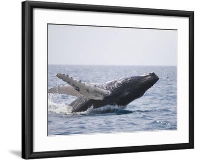 Humpback Whale Breaching from the Atlantic Ocean-DLILLC-Framed Photographic Print