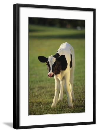 Holstein Calf-DLILLC-Framed Photographic Print