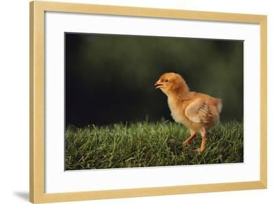 Chick-DLILLC-Framed Photographic Print