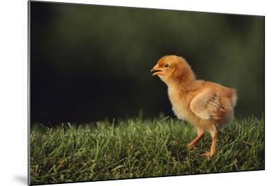 Chick-DLILLC-Mounted Photographic Print
