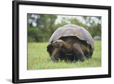 Galapagos Tortoise in the Grass-DLILLC-Framed Photographic Print