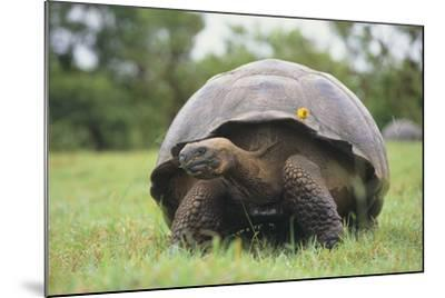 Galapagos Tortoise in the Grass-DLILLC-Mounted Photographic Print