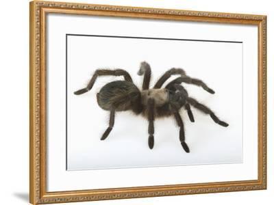 Desert Blond Tarantula-DLILLC-Framed Photographic Print