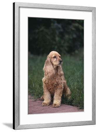 Cocker Spaniel in Yard-DLILLC-Framed Photographic Print