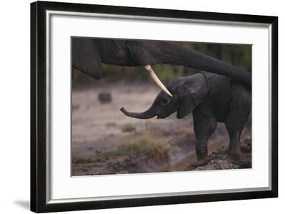 Mother Elephant Encouraging Baby-DLILLC-Framed Photographic Print