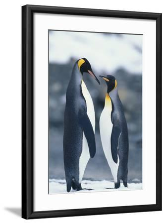 King Penguins Standing Belly to Belly-DLILLC-Framed Photographic Print