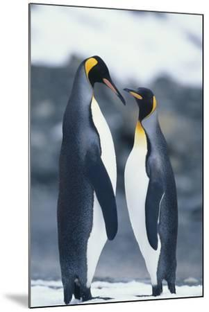 King Penguins Standing Belly to Belly-DLILLC-Mounted Photographic Print