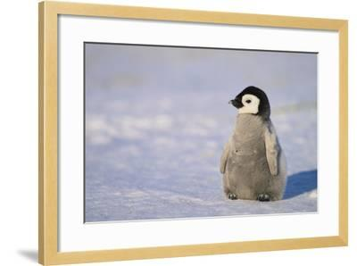 Baby Emperor Penguin-DLILLC-Framed Photographic Print