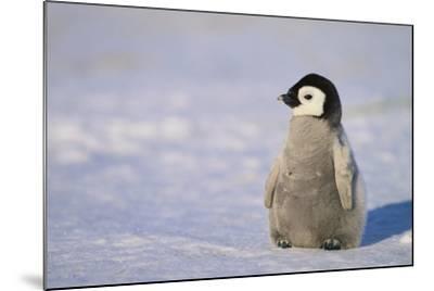 Baby Emperor Penguin-DLILLC-Mounted Photographic Print